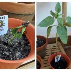 Sunflower Life Cycle - MontessoriBloggersNetwork.com